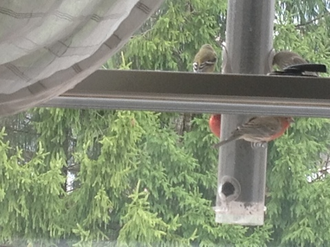 042113momfinches