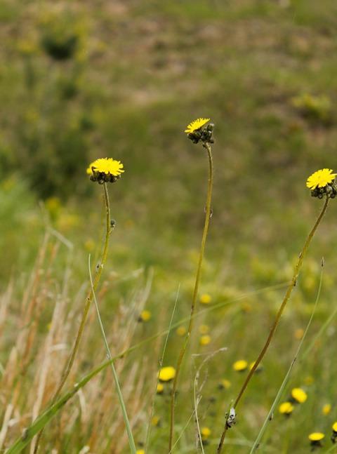 061013yellowbeachflowers
