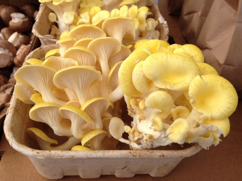 072814yellowmushrooms